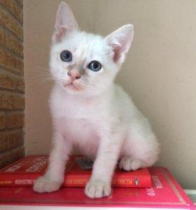 Котёнок меконгского бобтейла