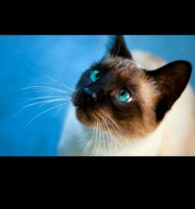 Возьму сиамского котёнка