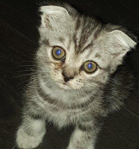 Продам породистых шотландских котят