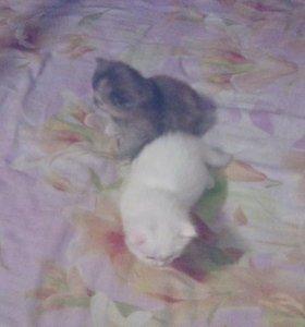 метисы от  персидской кошки и ангорского кота