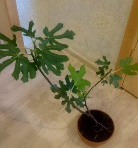 Инжир дерево комнатное