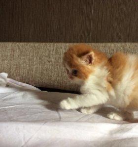Котёнок персидский