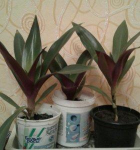 Комнатное растение Део