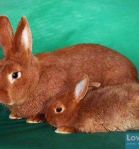 Кролики красные Новозеландские