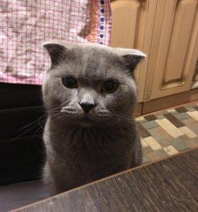 Британский кот 2 год