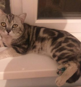 Вязка кот шотландец страйт