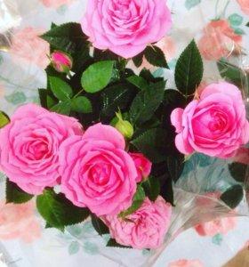 Розы Кордана