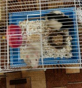 Крысы ручные