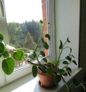 Комнатное растение пеперомия бархатная