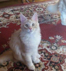 Самая большая домашняя кошка мейн-кун