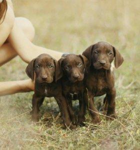 Племенные щенки курцхаара