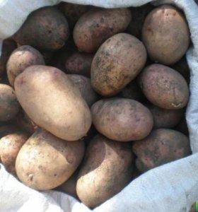 Продам не дорого картофель,доставка бесплатно!