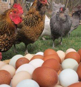Инкубационное яйцо деревенских кур-несушек