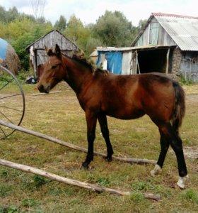 Коняшка