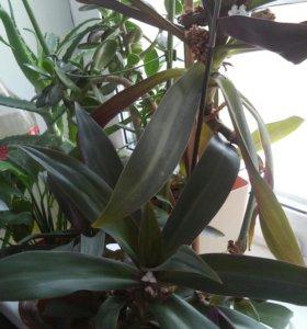 Комнатное растение РЕО (ладья Моисея)