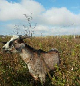 Продам козла. Нубийско-альпийский