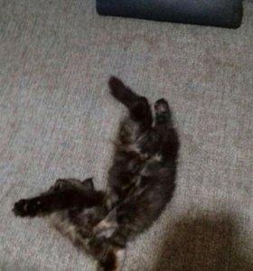 Отдам невского маскарадного котенка в добрые руки