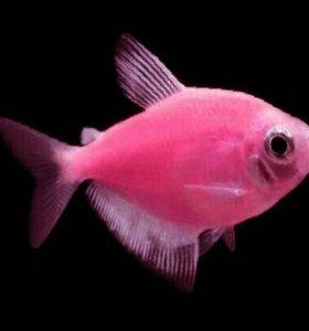 Рыба тернеция гло розовая