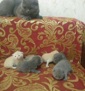 Продаю шатладских вислоухих котят