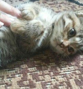 Кошечка британочка бесплатно