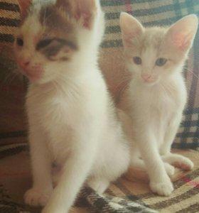 Два брата-кота в дар, МО, Север