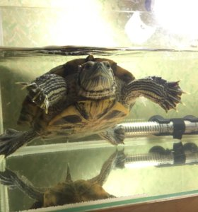 Красноухая земноводная черепаха