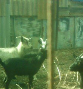 Козы молочные