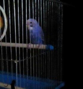 Попугай гриша
