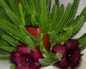 Отростки цветка стапелия