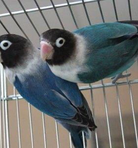 Неразлучники масковые( голубые)