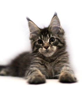 Черно тигровый котенок Мейн кун