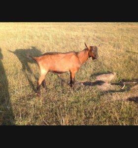 Козы порода чешская коричневая