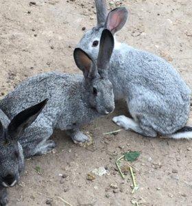 Кролики живые