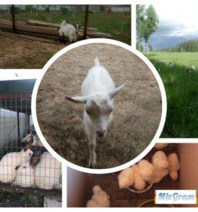 Козье молоко, куриные яйца, козлятина, крольчатина