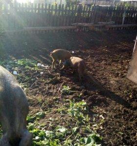 Свиньи разных пород