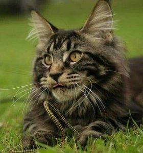 Великолепный породный котенок 6 мес черный мрамор