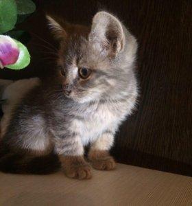 Котёнок Девочка Полупородистый