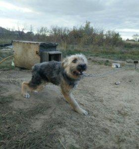 Пес для охраны территории