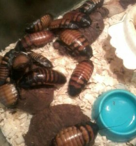 Мадагаскарские тараканы