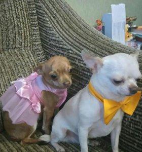 Продаю двух собак чихуа хуа мини