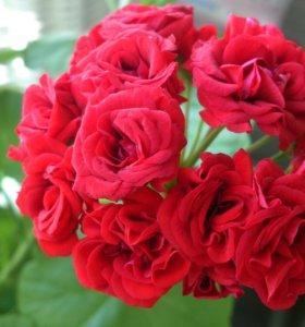 Герань розебудная красная