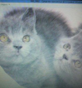 5 британских котят 2мес