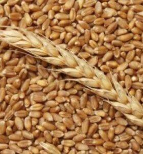 Пшеница , овёс , ячмень