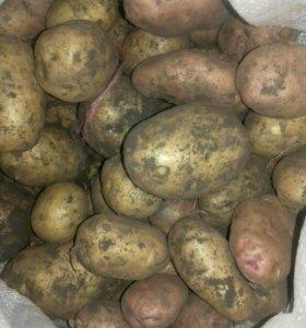 Картофель для еды