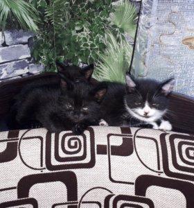 Котята от британской кошки отдам.