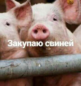 Закупаю свиней