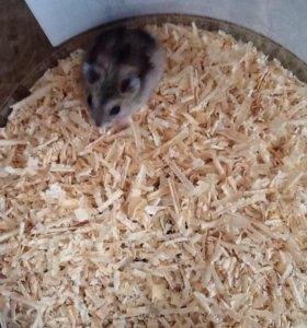 Джунгарский хомяк мальчик, родился 12 августа