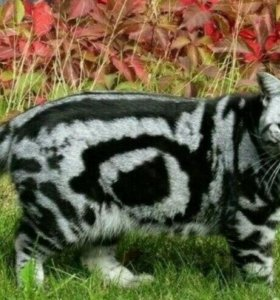 Вязка.Британский кот.