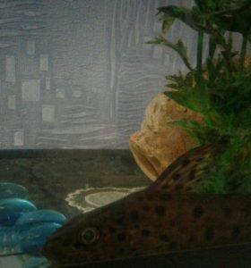 Рыбка сомик