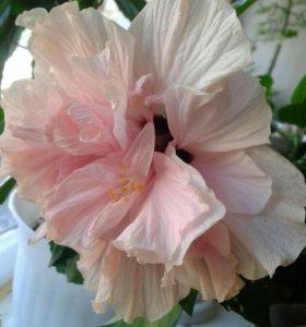 Роза укореню